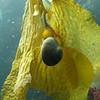 Kelp Snail.