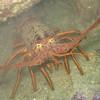 Lobster.