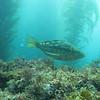 Kelp Bass.
