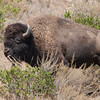 Yes, the bison still roam Catalina