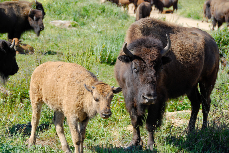Baby and mother bison.