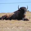 Bison, chillin'