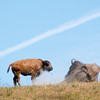 Baby and mother bison, and lots of flies (view larger version if you can't see them)