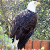 Pimu, the bald eagle.