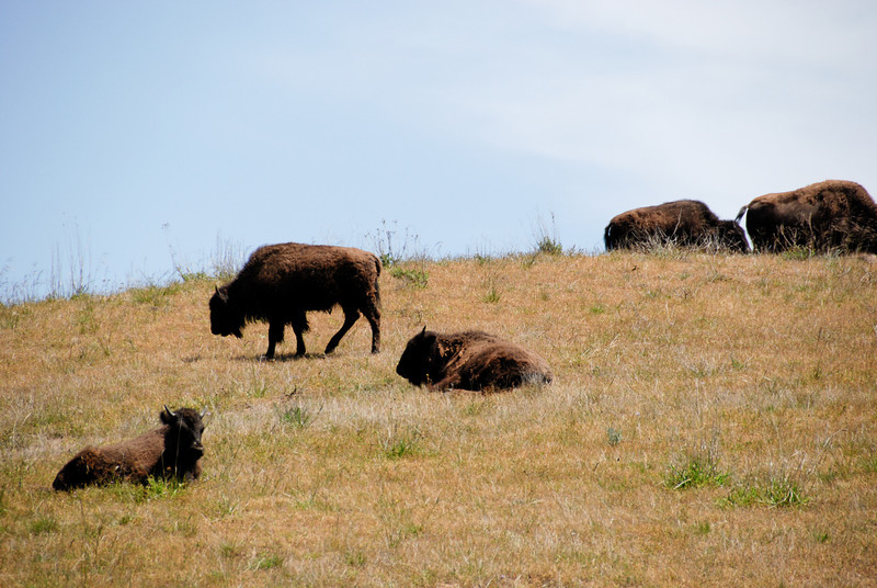 We saw more bison on the return trip. It was the same herd, but they'd moved a little.
