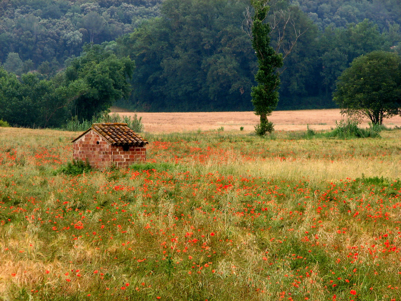 Poppies and an outbuilding in the countryside of Catalonia, Spain.