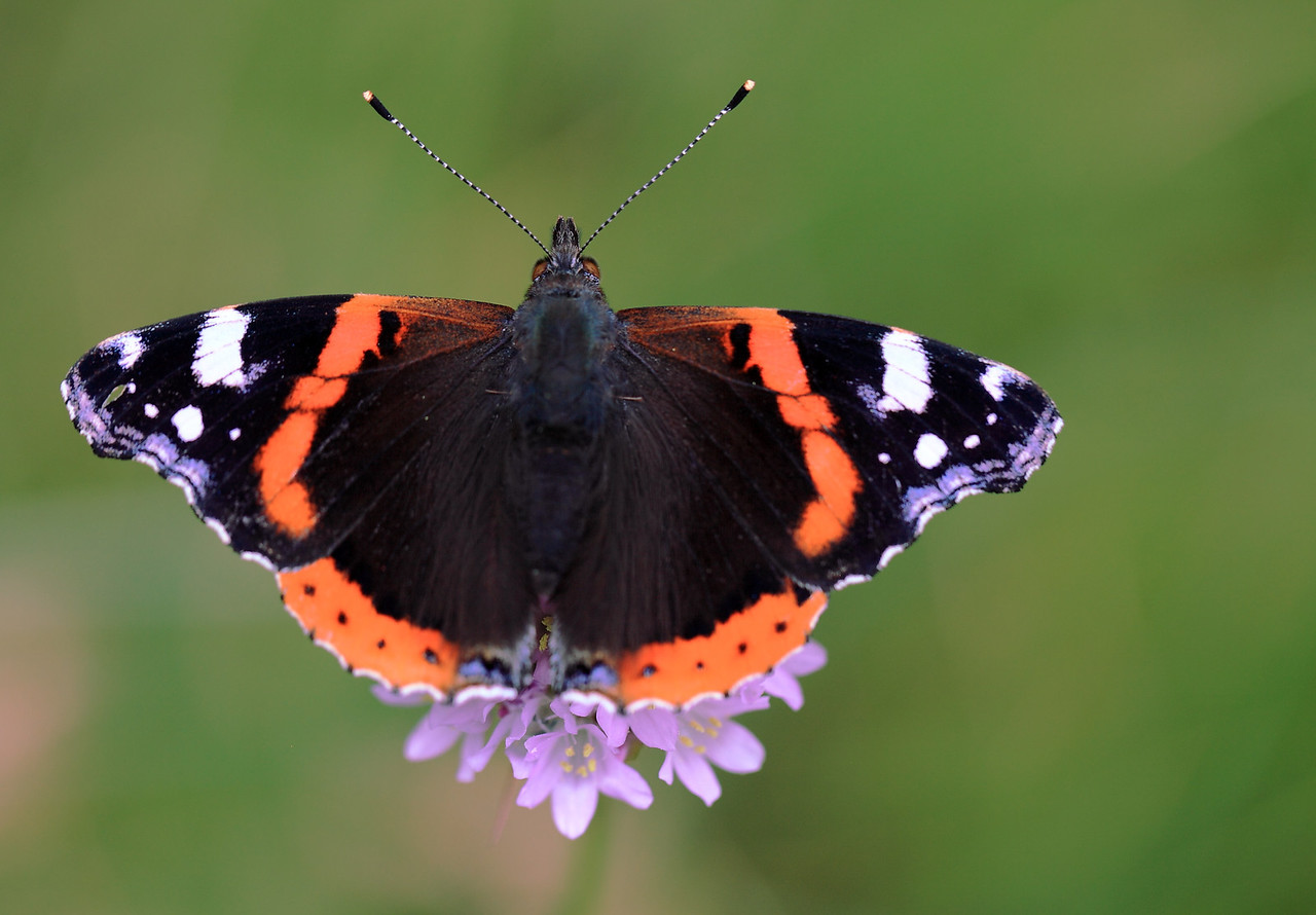 Red admiral butterfly (Vanessa atalanta).  This species is a powerful flier (note the robust thorax and small abdomen) capable of migrating long distances.