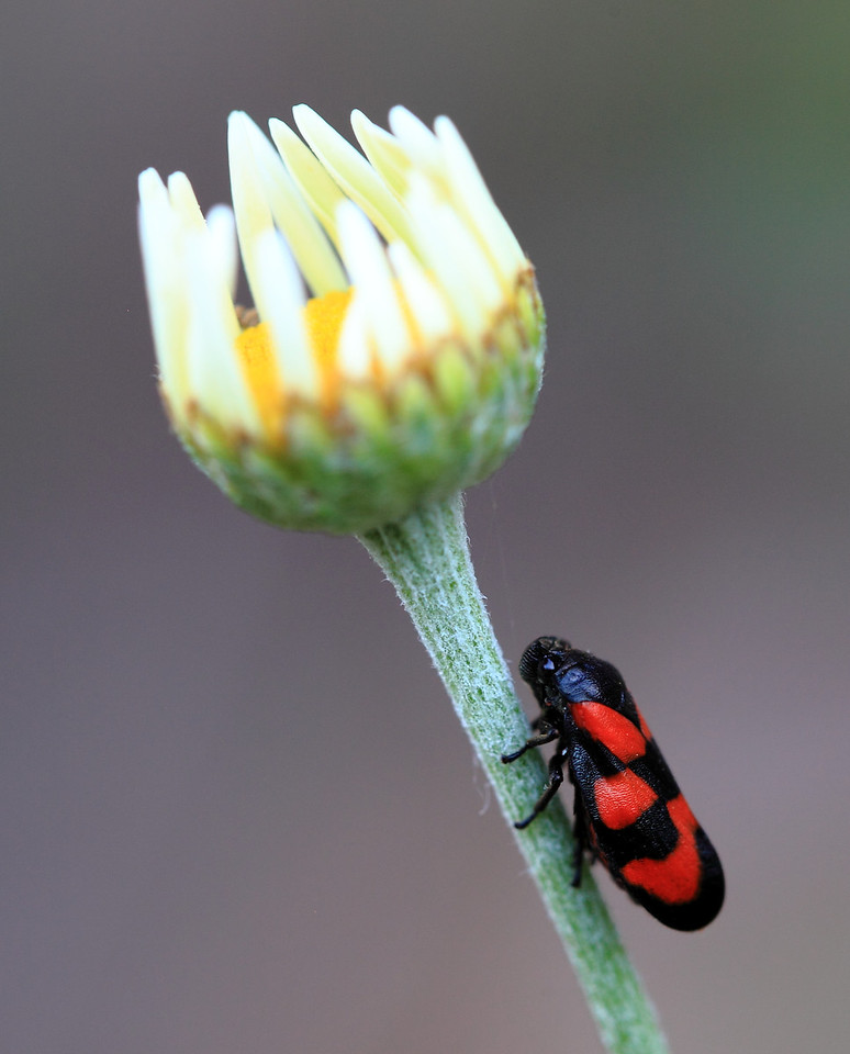 Black and red homopteran bug on a newly opened daisy blossom.