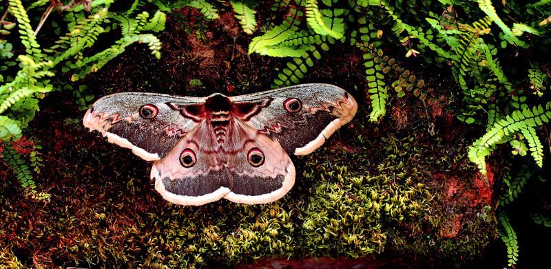 Saturnia pyri (a large Saturniid moth). Montseny Natural Park, Catalunya, Spain