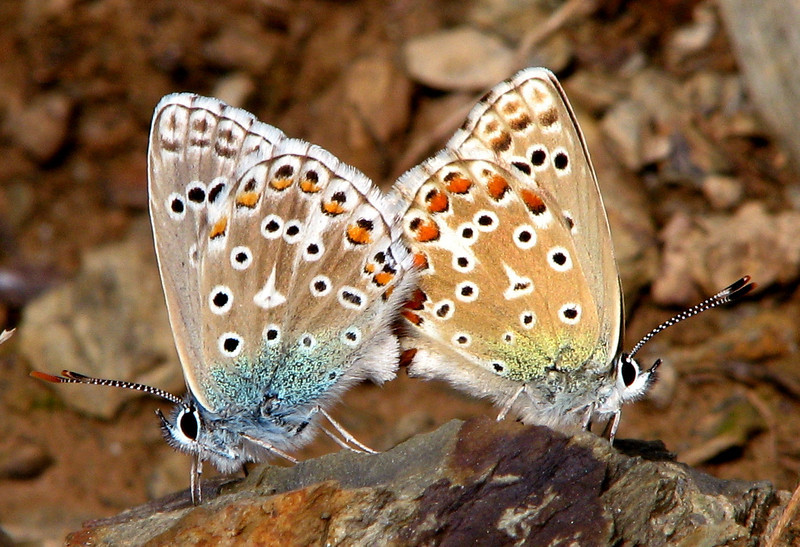 Mating pair of Plebejus pylaon butterfliies (Lycaenidae; Polyommatinae) in the hills above the small city of Sort, Catalonia, Spain