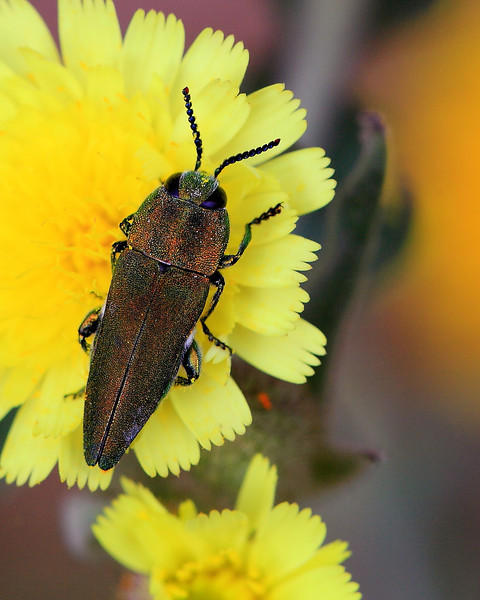 A buprestid beetle (Anthaxia hungarica).  Adults of this species feed on pollen, particularly that of yellow Compositae.  If you search for images of this species, you find photo after photo of these beetles on yellow flowers.