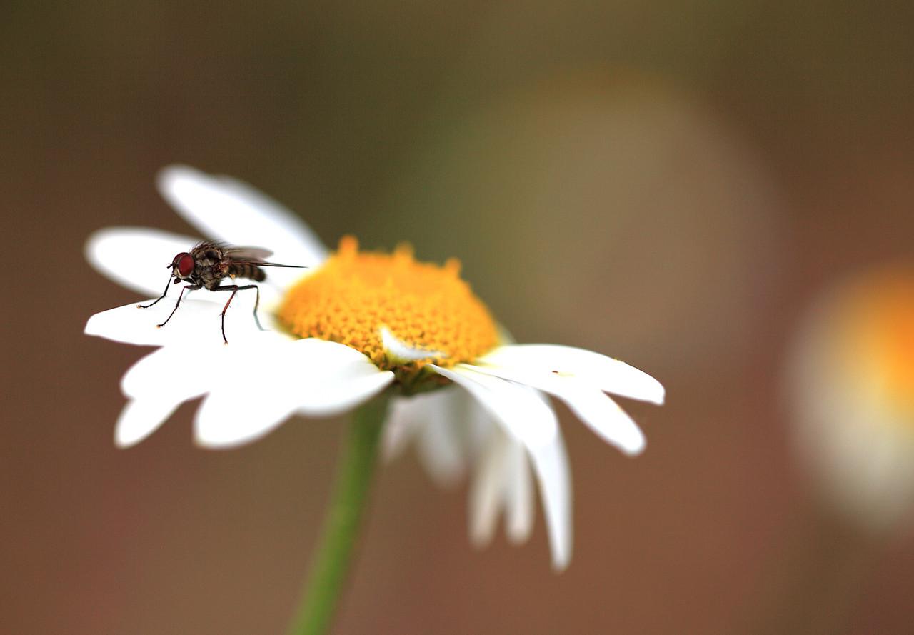 Fly on daisy petals.