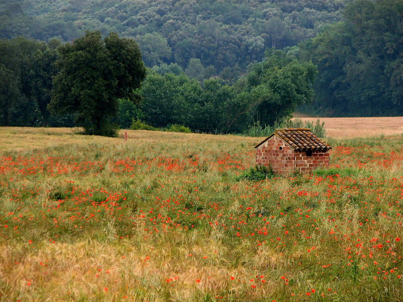 Poppies and an outbuilding in the countryside of Catalonia, Spain