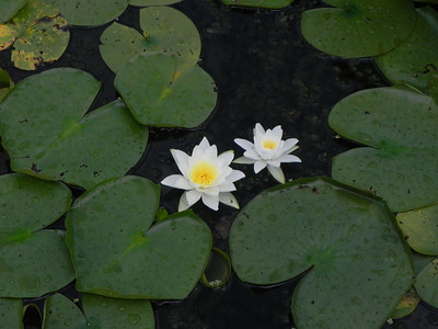twin water lilies