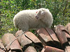 This sheep looks wary. It should. It's likely to be sacrificed.