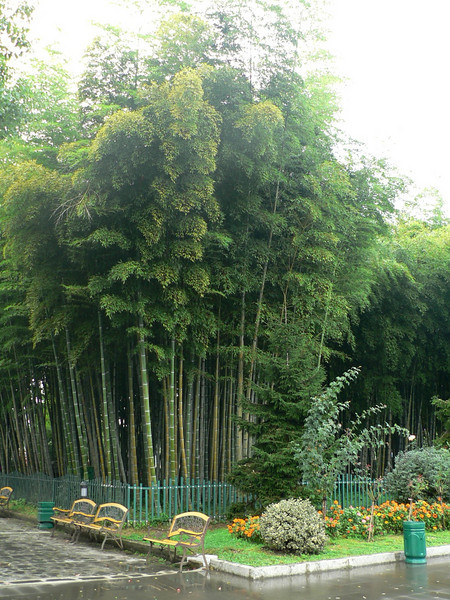 Bamboo at the park near the beach
