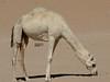 Rare white camel