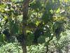 Grapes at Napareulis Marani