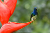 White-necked Jacobin (Florisuga mellivora) on Heliconia stricta