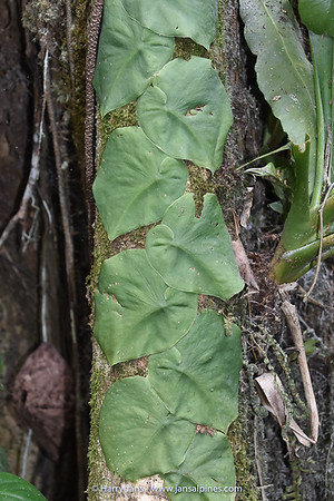 Monstera deliciosa (juvenile leaves)