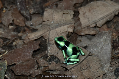 Green and black poison-dart frog (Dendrobates auratus)