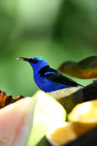 Red-legged Honeycreeper eating at the fruit dish
