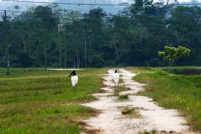 Jabiru Storks