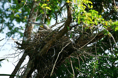 Bare-throated Tiger Heron on nest!