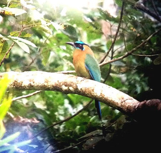 Blue-crested Motmot