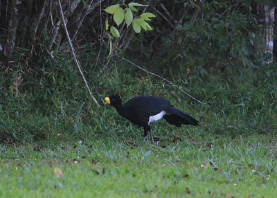 Great Curassow by Mark Faherty