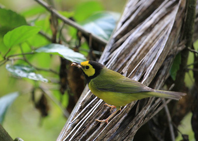 Hooded Warbler by Mark Faherty