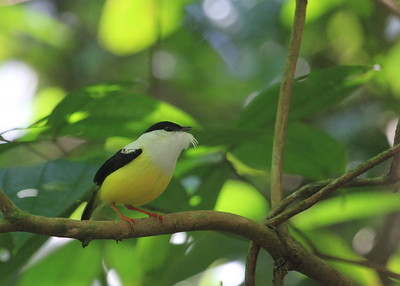 White-collared Manakin by Mark Faherty