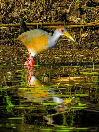 Gray-necked Wood Rail by David Shaffer