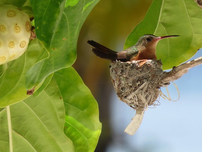 Cinnamon Hummingbird by Margaret Perham