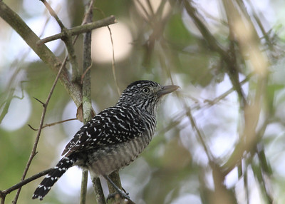 Barred Antshrike by Mark Faherty