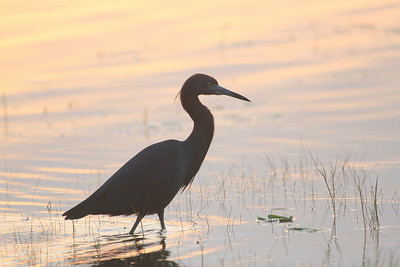 Little Blue Heron by Mark Faherty