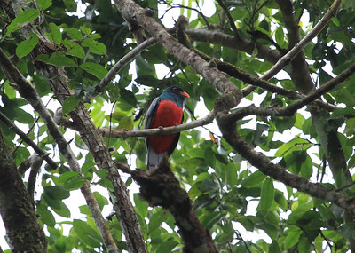 Slaty-tailed Trogon by Mark Faherty
