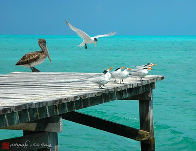 Pelican and Terns