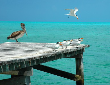 Brown Pelican and Royal Terns on Half Moon Caye, Lighthouse Reef, Belize, Central America