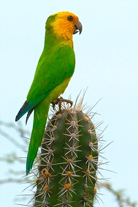 Brown-throated parakeet, note the blue wing tips