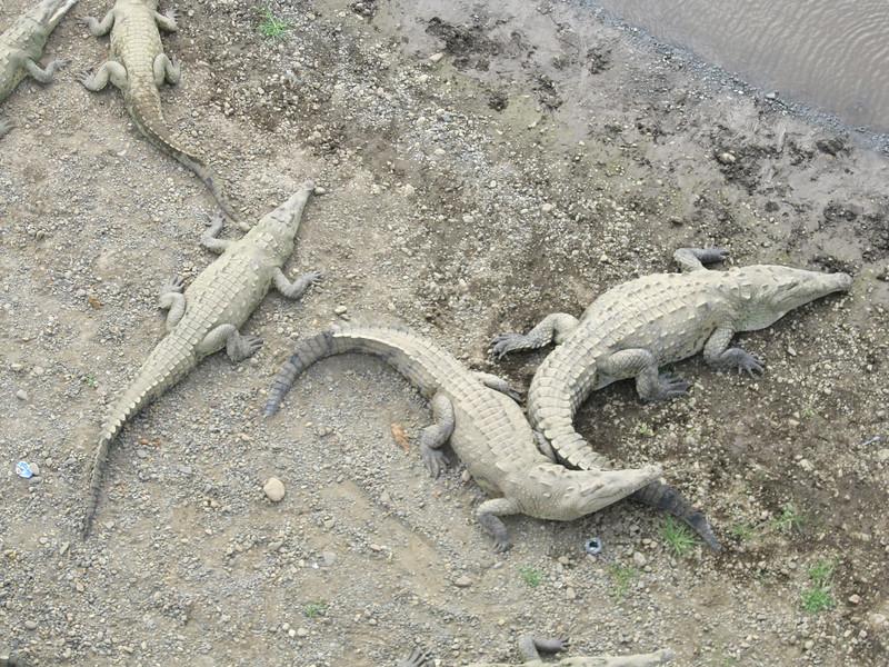 Alligator bridge