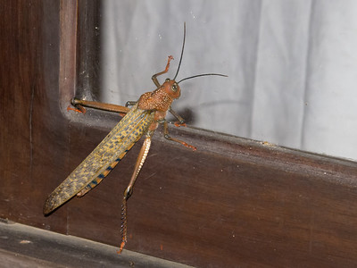 "The biggest grasshopper/locust I've ever seen; about 6"" long."