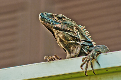 In the daytime, some iguanas would always come out to hang out in the gutters. This one's outside rm 5