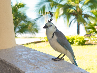 According to my Google searching, this is a White-throated Magpie Jay. He also wants a handout.
