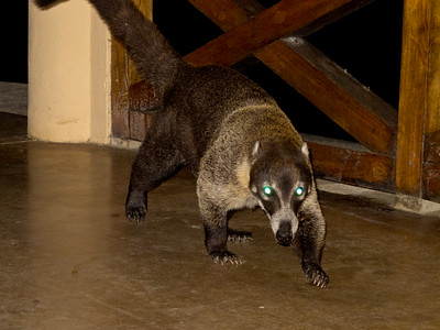 This is a Coati. He came into the restaurant (open air) after dinner for a handout