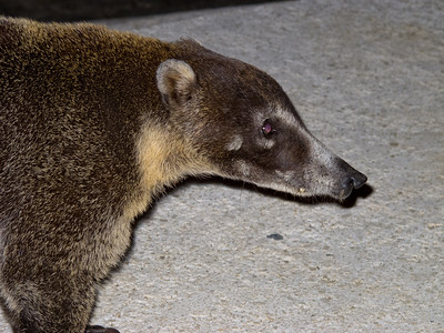 "He's kind of a cross between a raccoon and an anteater. We also saw a ""regular"" raccoon one night, in the same area."