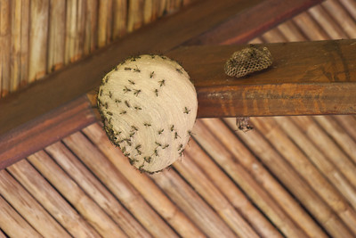 Keeping up with the Jonses, there were a couple of wasp nests right next to it.