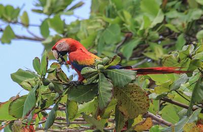Scarlet Macaw © David Larson