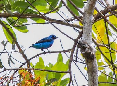 Turquoise Cotinga © David Larson
