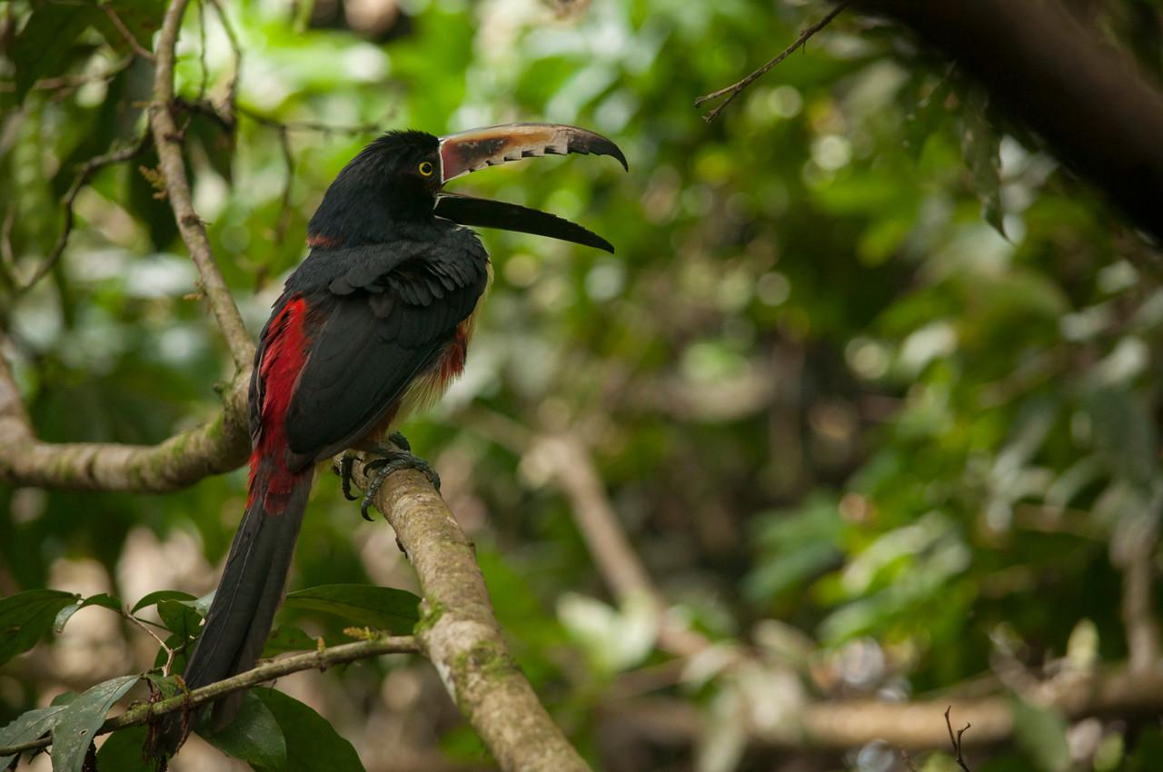 Collared Aracari (Pteroglossus torquatus) yawning